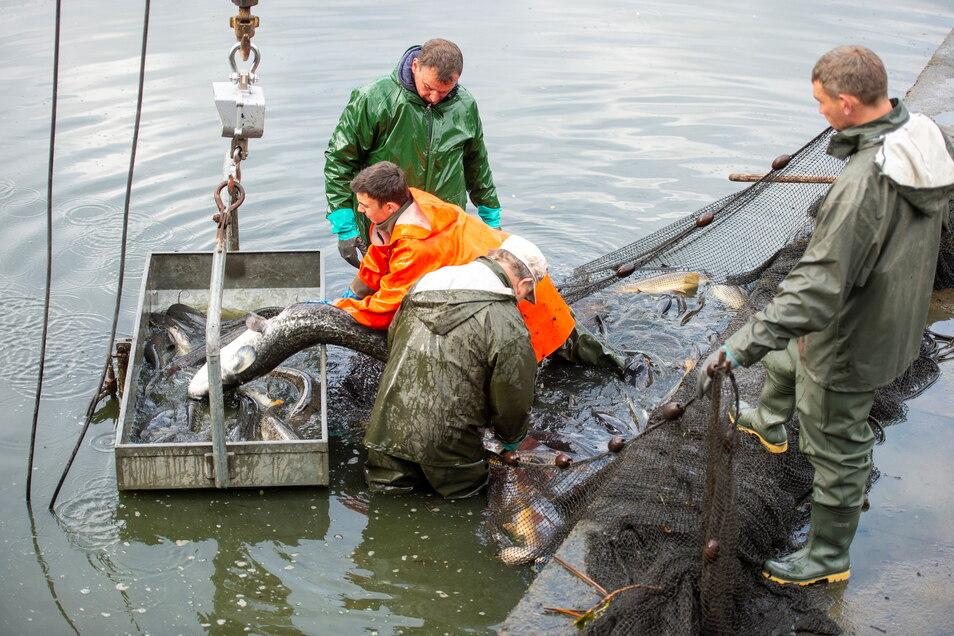 Das große Abfischen beim Fisch- und Waldfest wird es dieses Jahr in Moritzburg nicht geben.