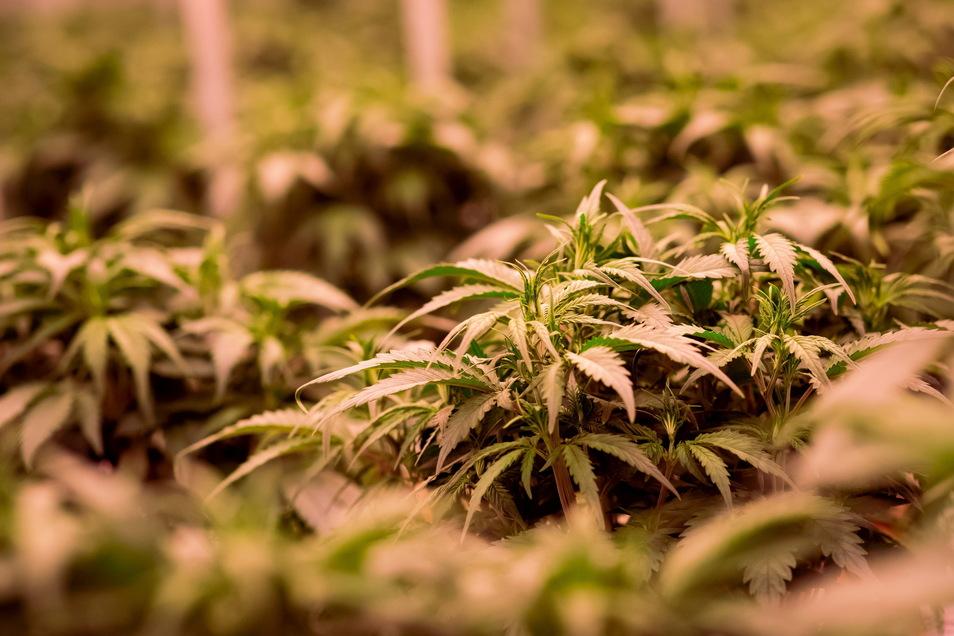 Bislang haben Apotheken medizinisches Cannabis aus Importen bezogen.