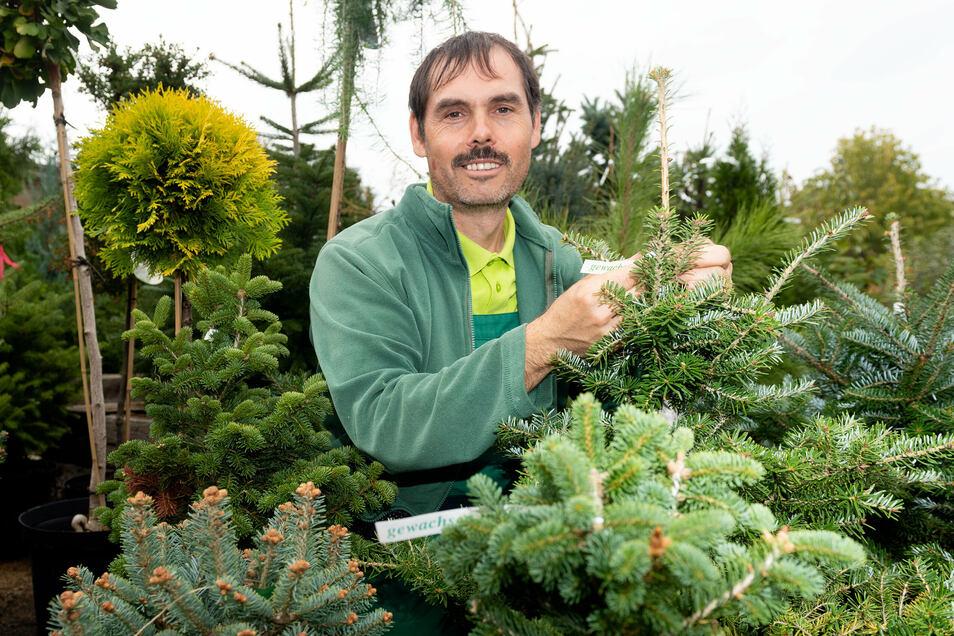 Gärtner Thomas Klaus zeigt eine Koreatanne bei der Baumschule Sämann in Bautzen. Der Familienbetrieb will seine Preise für Weihnachtsbäume nicht erhöhen, aber andere Anbieter planen das.