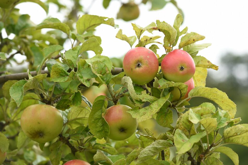 Für 35 Euro können Eltern in Meißen der Umwelt etwas Gutes tun und ihrem Kind einen eigenen Obstbaum schenken.