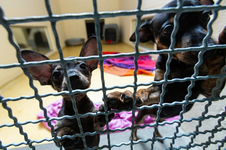 Die kleinen Welpen sind zwei geschmuggelte Hundebabys, die jetzt im Freitaler Tierheim wohnen.