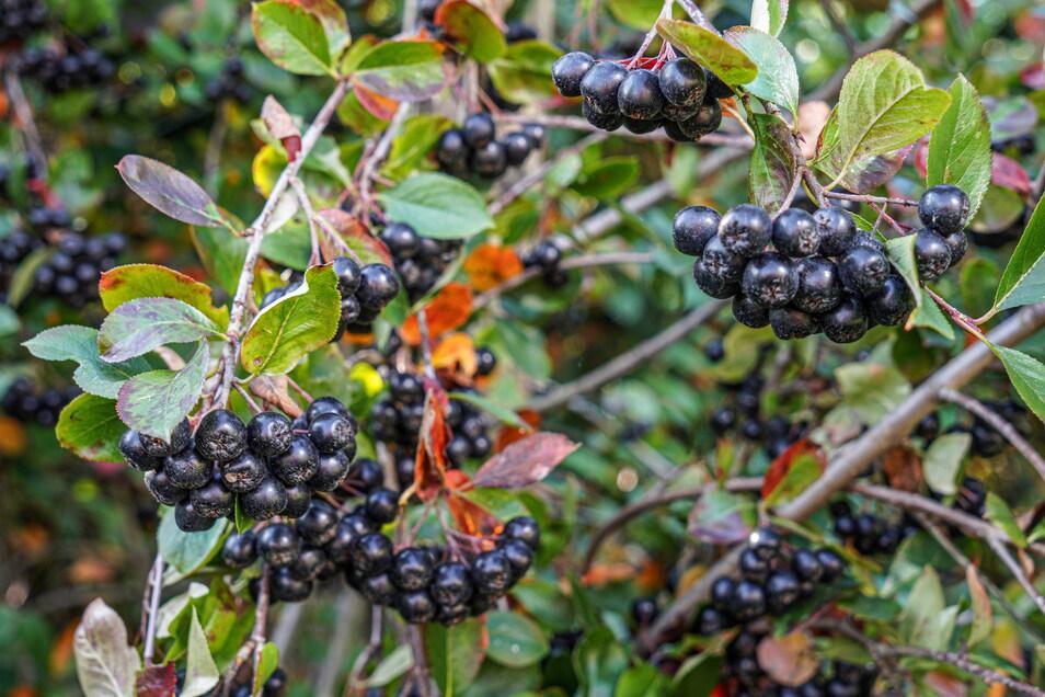 An jeder einzelnen Pflanze hängen unzählige Beeren.
