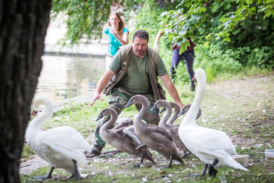 """""""Zugriff!"""" Thomas Eißer und seine Helferinnen wollen die fünf jungen Schwäne am Carolasee einfangen - doch das ist gar keine einfache Sache."""