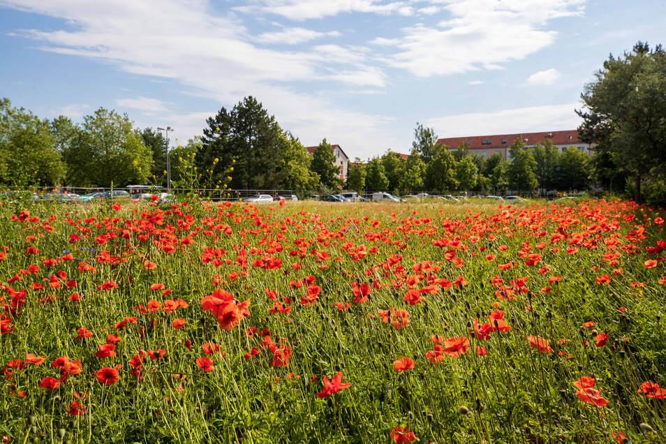 Tausende Mohnblumen stehen und blühen auf dieser Wiese. Seit dem Abriss des Discounters Diska in Copitz entwickelt sich das abgezäunte Privatgrundstück zu einem kleinen wilden Ort für Blumen und Tiere aller Art.