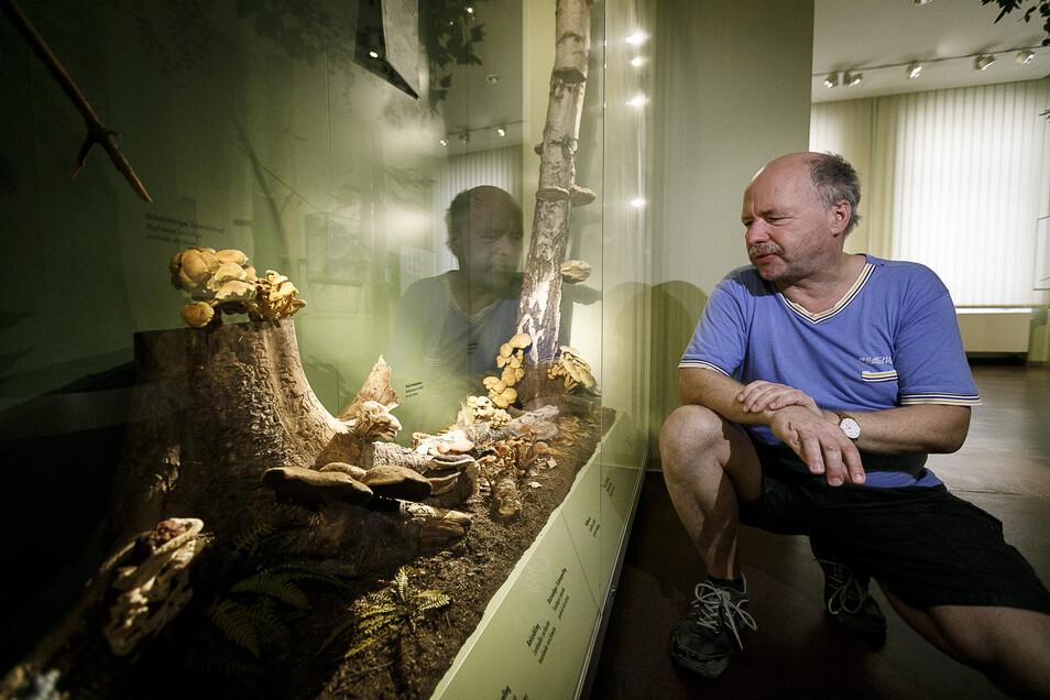 Der Görlitzer Pilzberater Steffen Hoeflich berät jeden Dienstag im Naturkundemuseum.