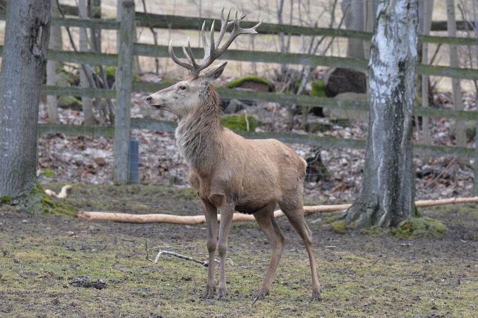 Der Rothirsch, hier ein Exemplar aus dem Geisinger Wildpark, ist der König des Waldes im Osterzgebirge. Zurzeit halten die Tiere lautstark Hochzeit.