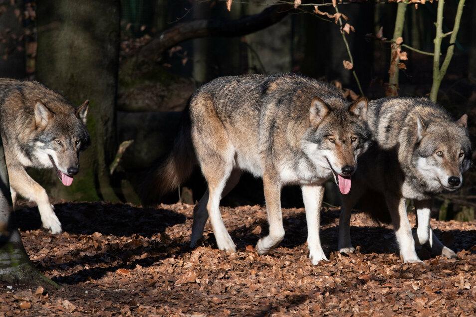 Wölfe reißen nicht selten Nutztiere, deren Halter dann entschädigt werden.
