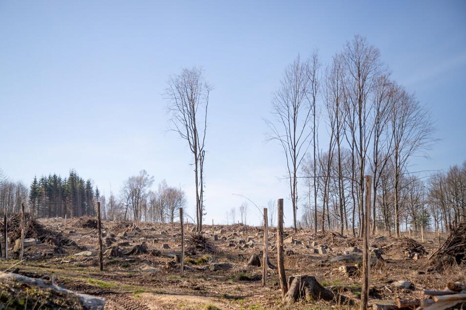 Dürre und Borkenkäfer haben im Wald von Familie Kießling ganze Arbeit geleistet. Nach dem Kahlschlag 2019 wird nun wiederaufgeforstet. Hanglage und Granitgestein als Untergrund machen den Einsatz von Forsttechnik schwierig.