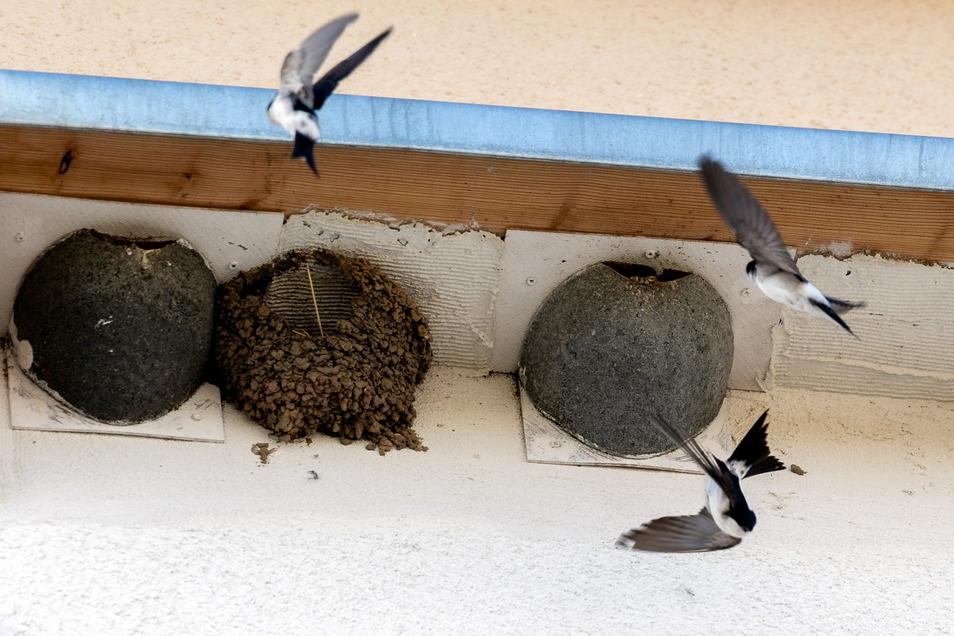 Diese Mehlschwalben haben einen Nistplatz neben dem Verwaltungsgebäude gefunden. Bevor es fällt, müssen noch mehr Tiere umziehen.