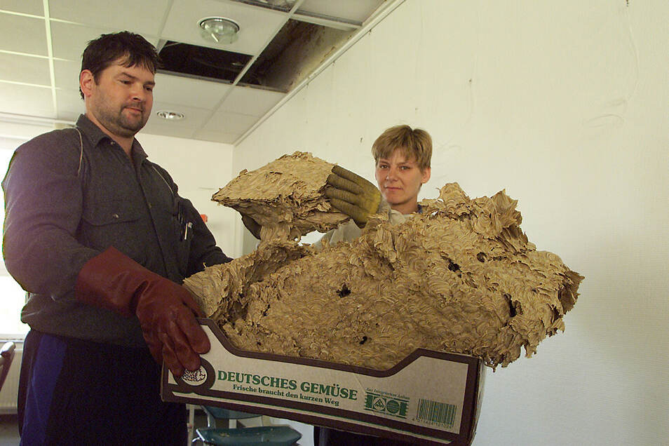 Dieses riesige Nest hatten Wespen im Zwischenraum der abgehangenen Decke des Blutspenderaumes einer Krankenkassenfiliale in Hoyerswerda gebaut. Blutspender waren gestochen worden. Schreibers entfernten das Nest. Das war im September 2000.