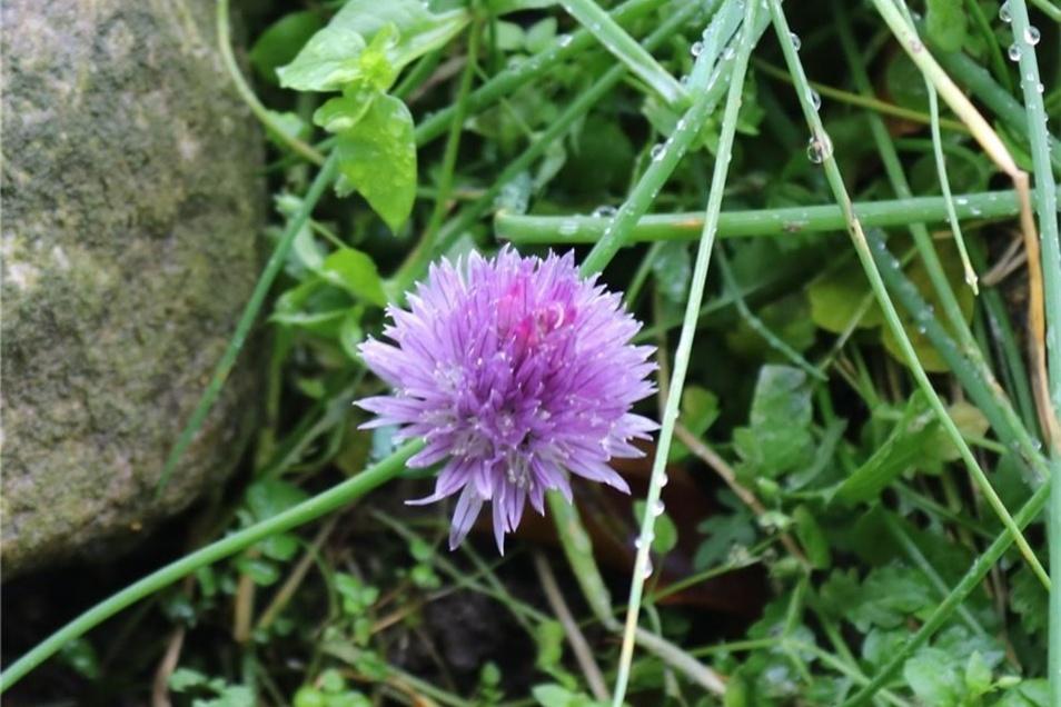 Der hütet in einer lebenden Gendatenbank seltene Pflanzen wie die Allium sibiricum (Alpenschnittlauch).