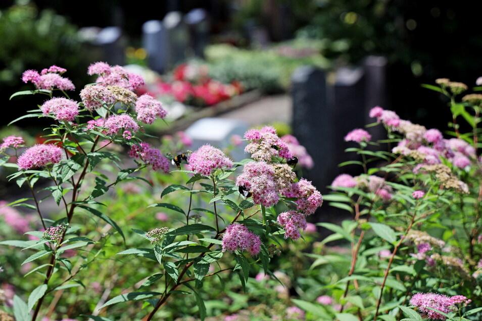 Hummelfutter vor Gräbern: Nicht nur Hans-Gunter Großes Bienen laben sich gern an der Bepflanzung auf dem Trinitatisfriedhof.