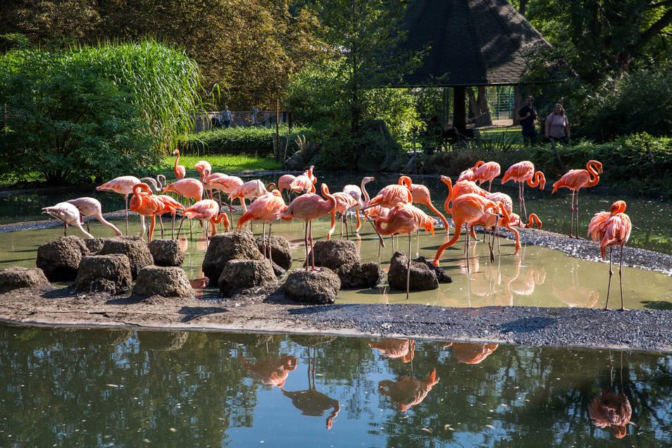 Die Flamingos werden einzeln gefangen und in die neue Anlage gebracht.
