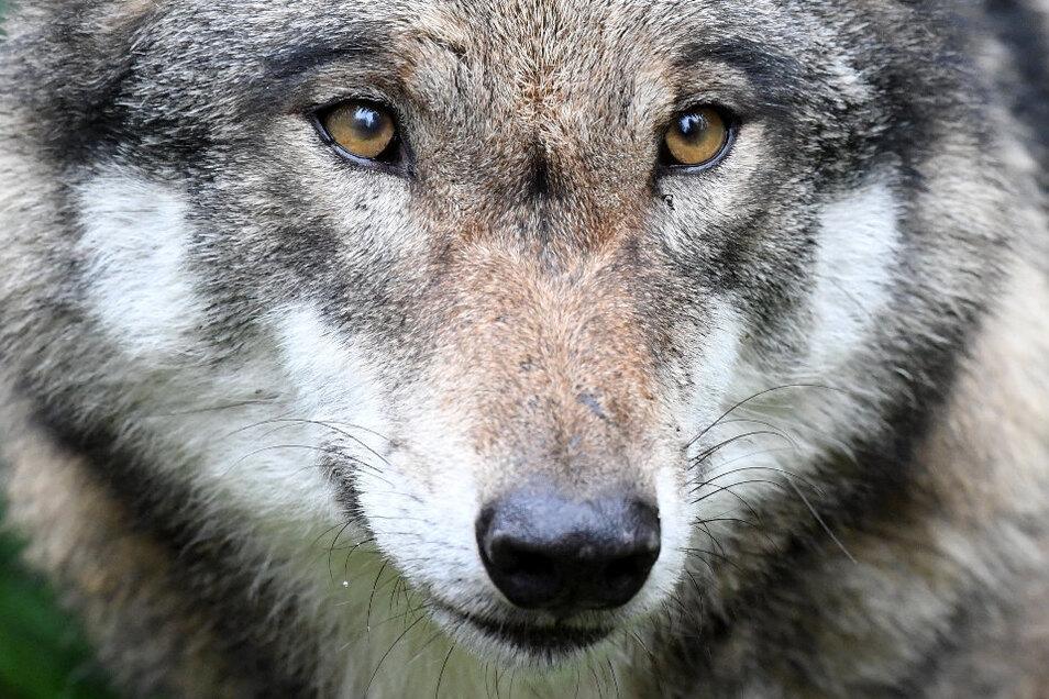 Der Wolf ist inzwischen in der Dresdner Heide zuhause.