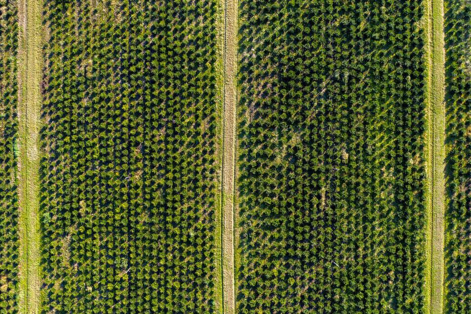 Viele der hier verkauften Bäumchen sind in solch einer Plantage gewachsen.