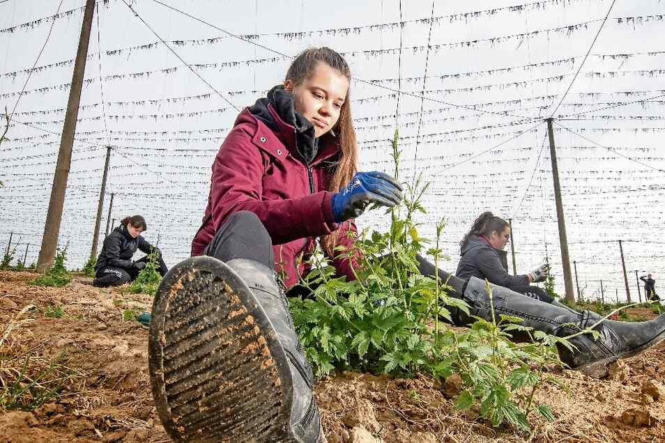 Victoria Ort und ihre Mitschüler helfen auf den Hopfenfeldern beim Anleiten der schnellwüchsigen Pflanzen.