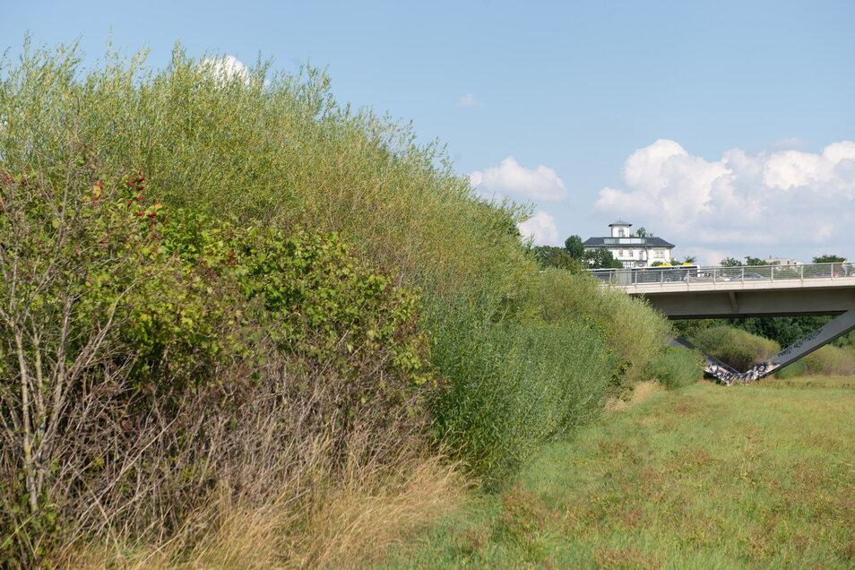 Zwar war die Hälfte der Fledermaus-Autobahn an der Waldschlößchenbrücke bereits gestutzt worden. Die Weiden sind aber schon wieder nachgewachsen. Die Sträucher sollen Hufi & Co. unter der Brücke hindurchleiten.