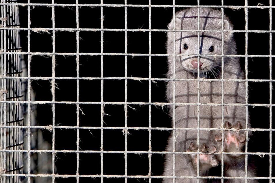 Ein Nerz in einem Käfig in einer Nerzfarm.