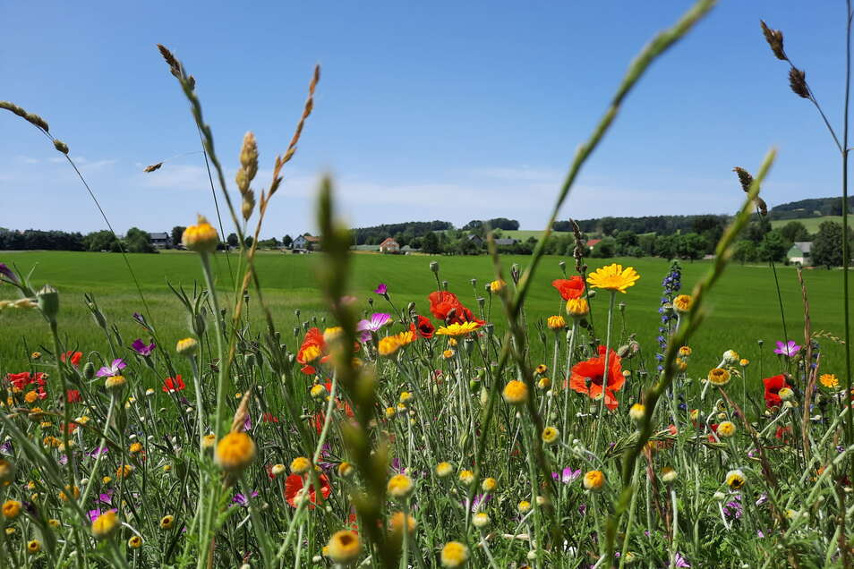 Farbenfrohe Wildblumen wachsen am Sandbergweg in Rammenau.
