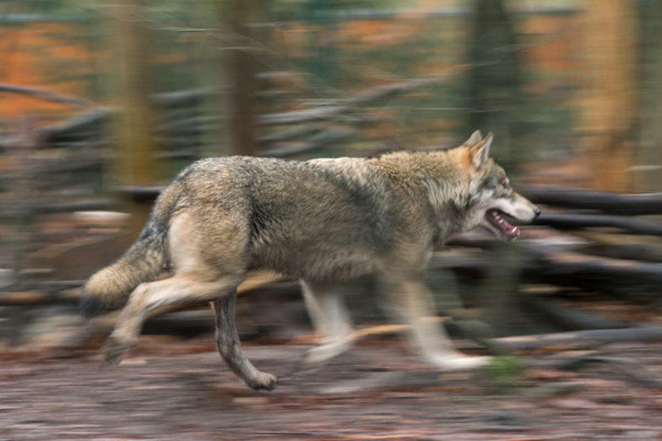Dieser Wolf trägt keinen Sender. Doch drei sächsische Tiere sind damit ausgestattet - nachdem ein vierter tot gefunden wurde.