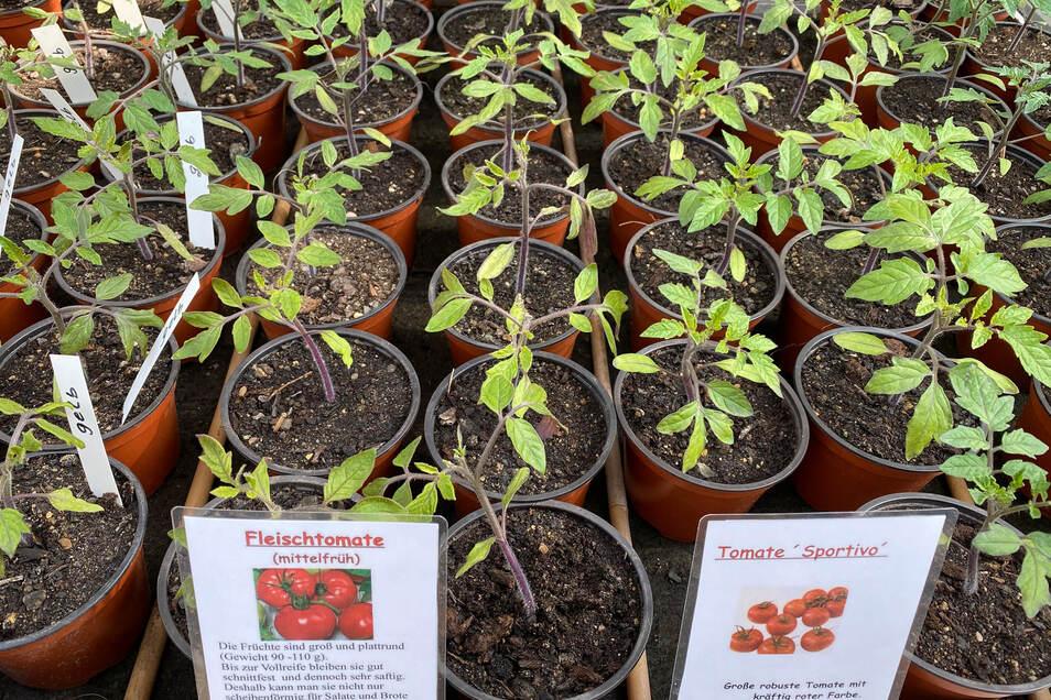 Auch verschiedene Tomaten-Sorten werden hier aufgezogen.