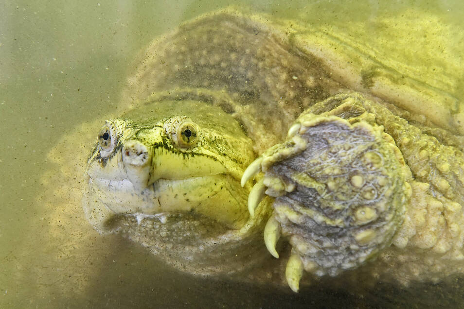 Beim Aquarien- und Terrarienverein Osiris sind exotische Tiere wie diese Schnappschildkröte zu bestaunen.