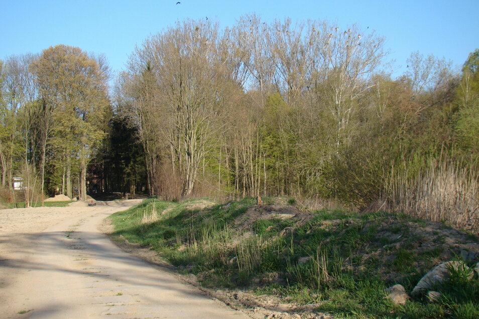 Versteckt in den Bäumen nisten seit etwa fünf Jahren knapp 50 Kormoranpaare im Trinkwasserschutzgebiet am Görlitzer Wasserwerk.