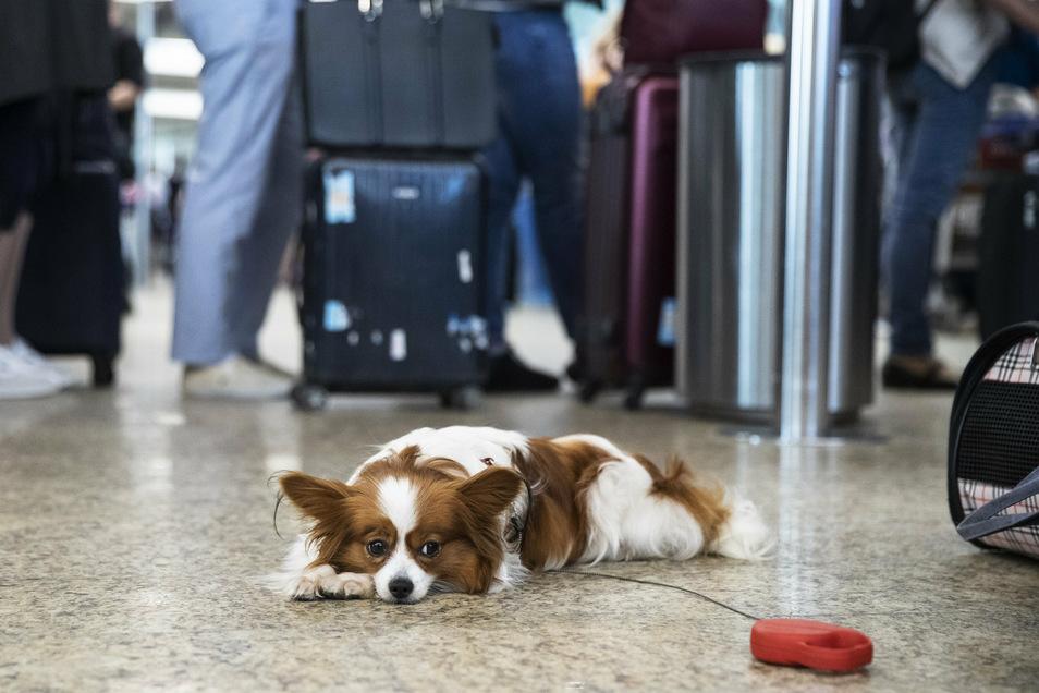 Geht der Flug oder nicht? Diesem Hund dürfte das egal sein, dem Herrchen sicher nicht.
