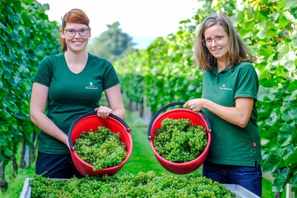 Auf Schloss Wackerbarth haben die beiden Winzerinnen Ira Marie Hausdorf (l.) und Josefine Büttner mit der Weinlese begonnen. Zuerst landen Trauben der frühen Rebsorte Solaris in ihren Eimern.