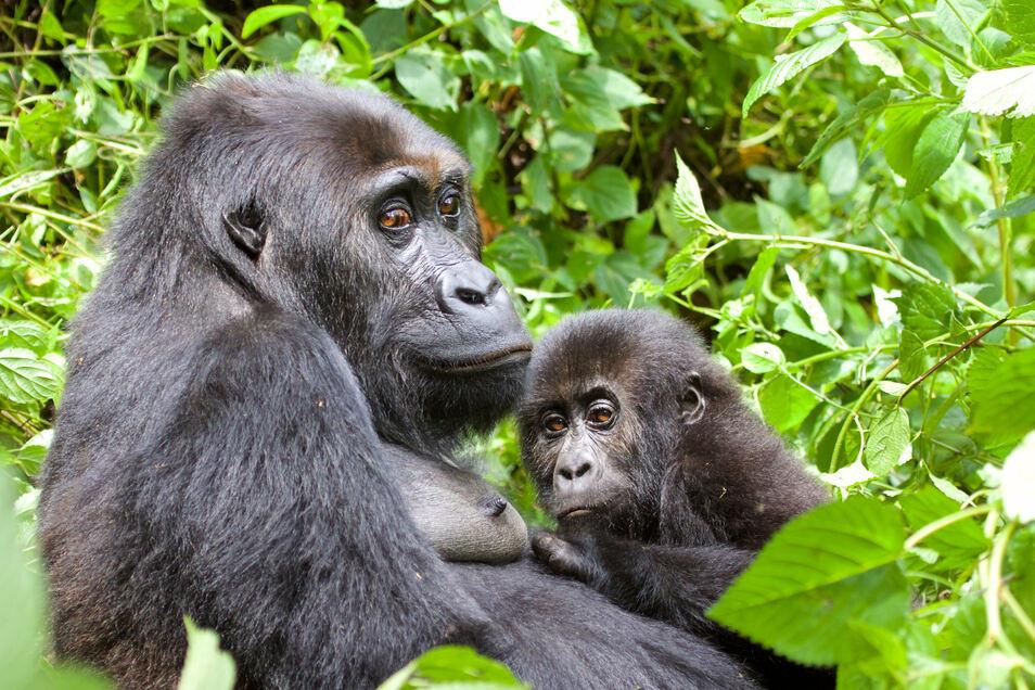 Als besonders gefährdete Tierart gelten die östlichen Flachlandgorilla im Kongo.