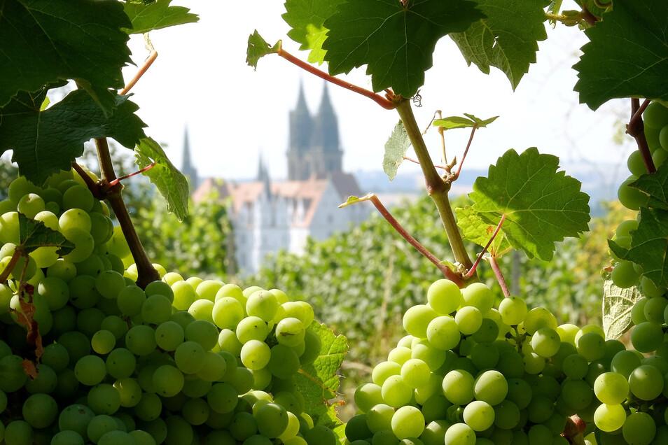 """""""Der Sächsische Weinwanderweg – So geht Wein"""" lautet der Titel des Projektes, mit dem sich der der Tourismusverband Elbland Dresden (TVED) am Ideenwettbewerb für den Tourismus beteiligt hat  -  und prämiert wurde."""