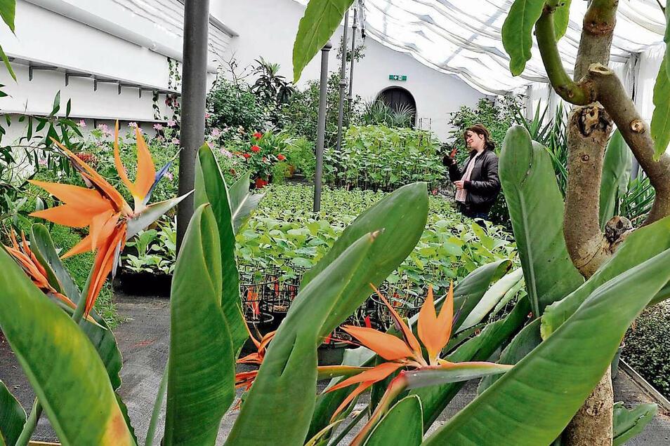 Während die Strelitzien unbeachtet von Besuchern in den Gewächshäusern der Schlossgärtnerei ihre schönen Blüten zeigen, beschäftigen sich Gärtnerei-Mitarbeiter mit dem Umtopfen von Blumen und Gemüse für den Park.