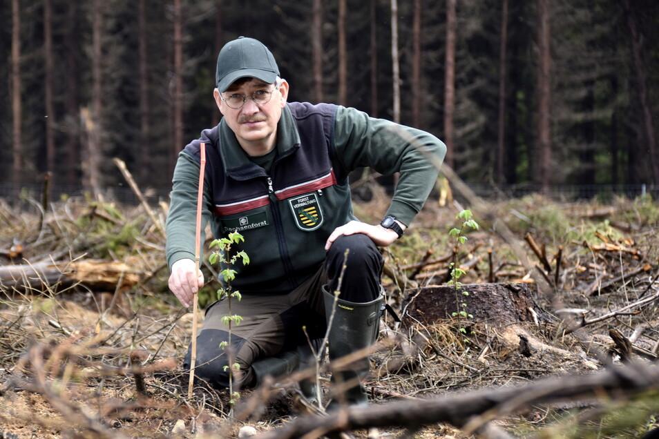 Der Langebrücker Revierförster Heiko Zuppke zeigt eine neu gepflanzte Flatterulme. Da die Bäume noch sehr klein sind, werden sie teilweise mit den signalfarbenen, roten Stäben gekennzeichnet.