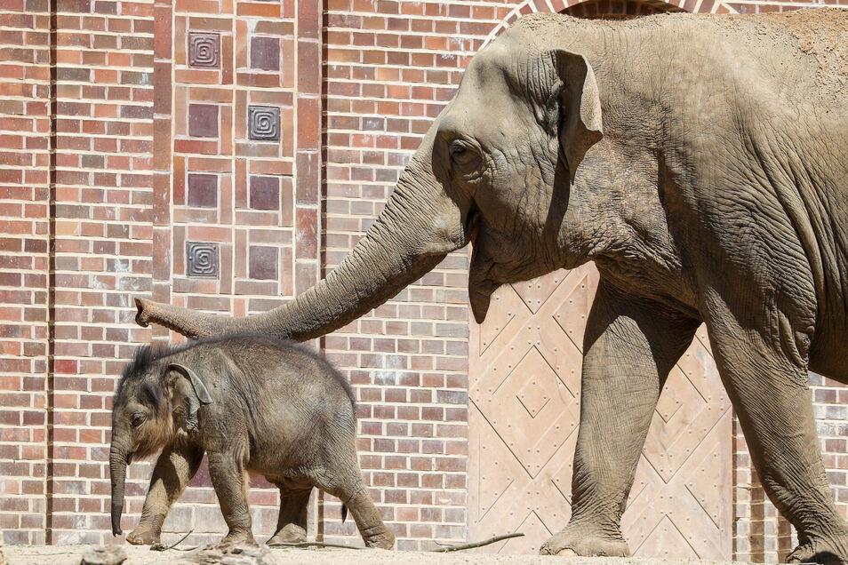 Ersatzmutter Don Chung hat sich um den von seiner leiblichen Mutter verstoßenen Bullen gekümmert.