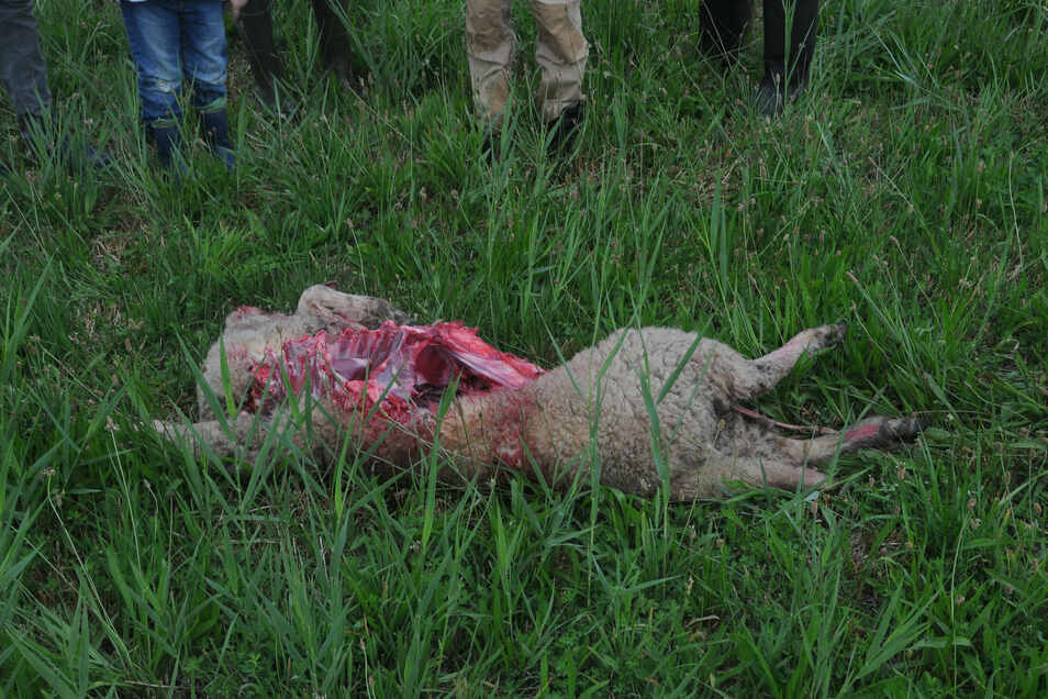 Ein Foto zeigt eins der toten Schafe. Nur eins der Tiere wurde innerhalb des Zauns gerissen.