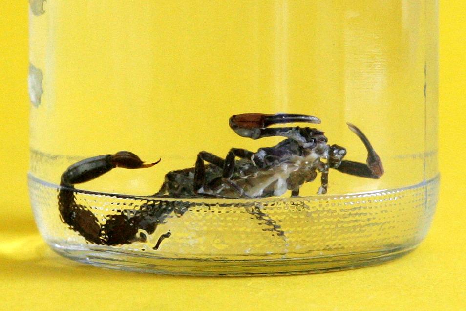 Ein in einem Einkaufsmarkt gefundener Skorpion wird nun in einem Tierheim versorgt.