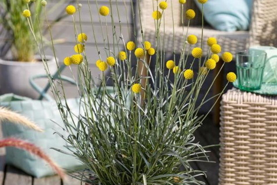 Das Trommelstöckchen eignet sich auch gut als Kübelpflanze.