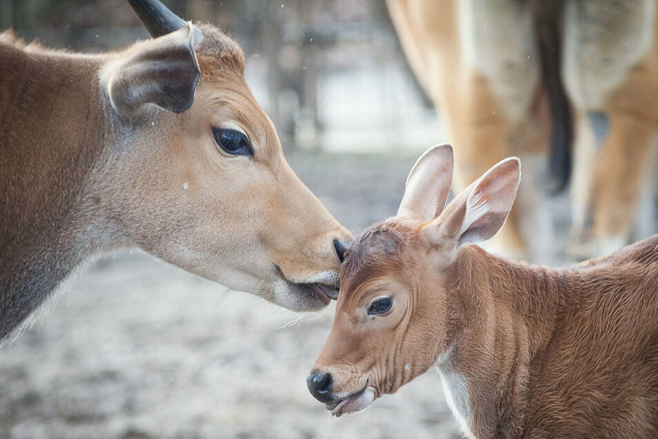 Den jüngsten Nachwuchs bei den Bantengs im Dresdner Zoo können bald auch die Besucher kennenlernen.