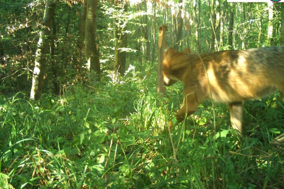 Auch in Thüringen ist im Nationalpark Hainich erstmals ein Goldschakal per Foto nachgewiesen worden. Das Raubtier wurde am 1. August von einer Fotofalle aufgenommen.