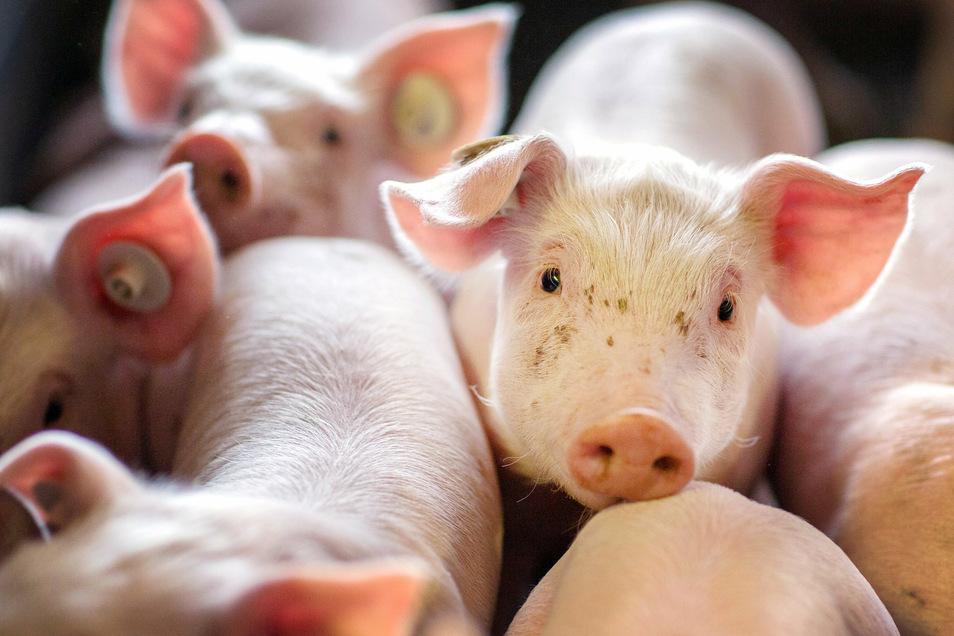 Mit Knopf im Ohr: Sächsische Schweine werden meist außerhalb Sachsens geschlachtet, dass soll sich bald ändern.