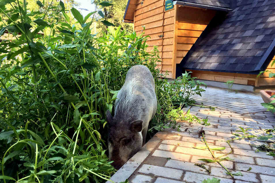 Die Mini-Schweine fühlen sich in ihrer neuen Anlage offenbar sauwohl.