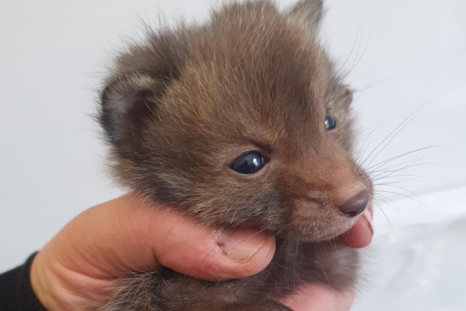 Niedlicher Findling: Ein junger Fuchs in der Tierarztpraxis von Thomas Kießling in Possendorf. Inwieweit der Mensch in das Schicksal von Wildtieren eingreifen sollte, ist umstritten.