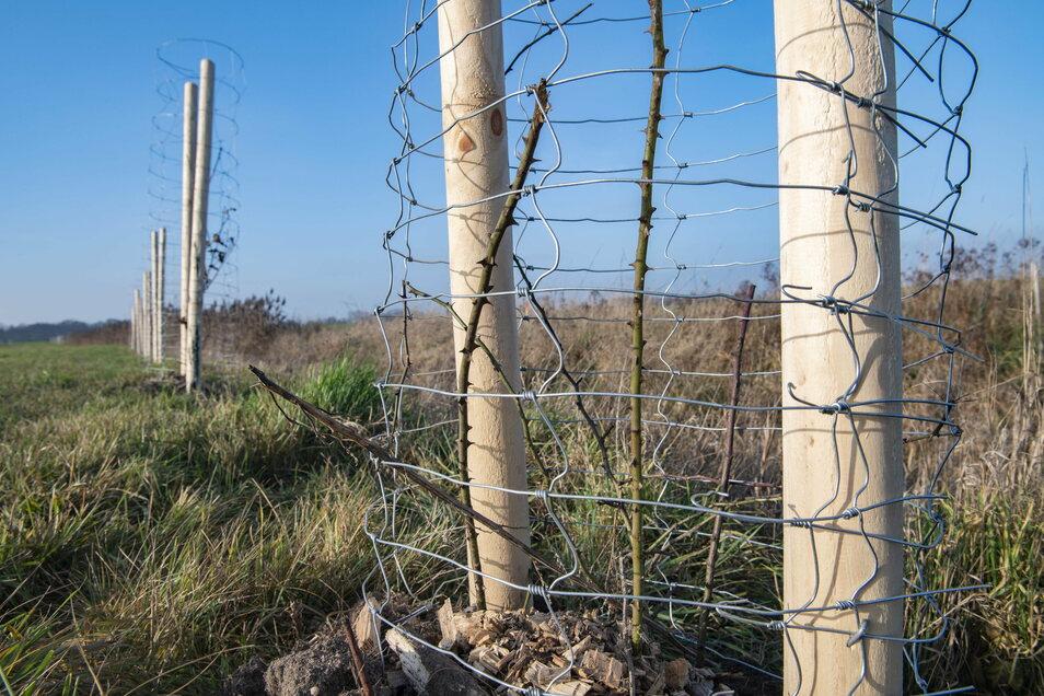 Hier hat sich jemand wirklich Mühe gegeben: Innerhalb der vergangenen Monate wurden heimlich, still und leise Baumsetzlinge entlang der Straße zwischen Walda und Zabeltitz in die Erde gebracht.