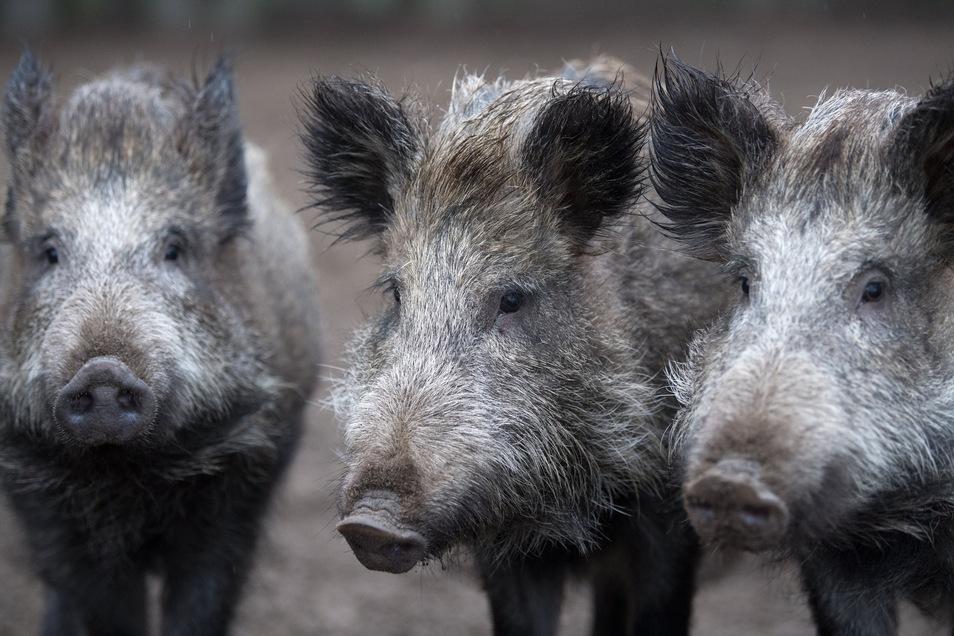Die Afrikanische Schweinepest rückt aus Polen näher an die Oberlausitz heran. Die Virusinfektion kann sowohl Wildschweine als auch Hausschweine befallen.