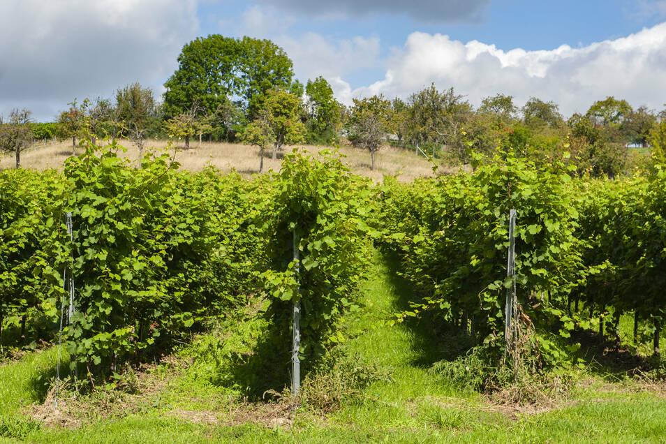 Trauben für vollmundige Weine mit besonderer Fruchtnote wachsen in Laubach.