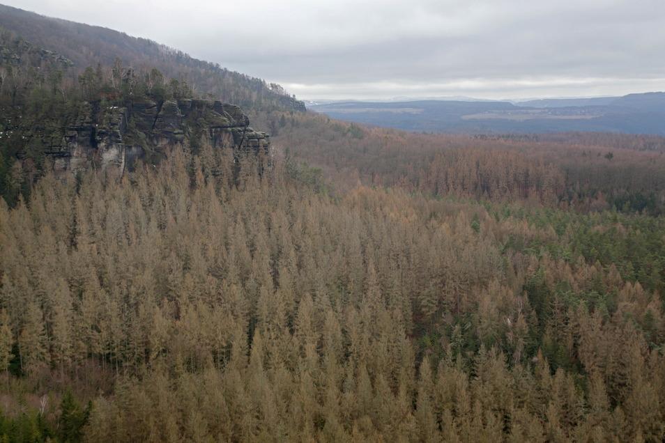 Abgestorbene Fichten an den Poblätzsch-Wänden im Schmilkaer Gebiet: Am unteren Bildrand verläuft der Wurzelweg, ein viel genutzter Aufstieg zum Großen Winterberg.