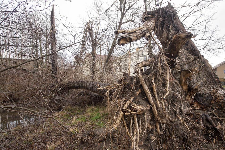 Schon vor einiger Zeit ist dieser Baum in der Nähe des Parkplatzes am Radeburger Hofwall umgestürzt.