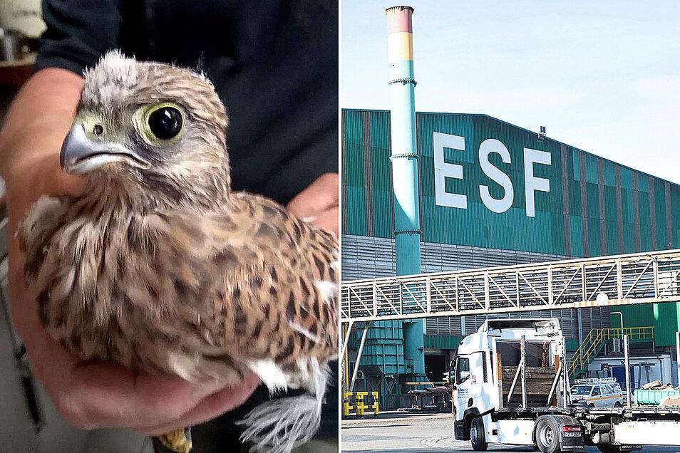 Ein Tierpark-Mitarbeiter zeigt einen der jungen Turmfalken, die beim ersten Flugversuch auf dem Stahlwerkgelände in Riesa gelandet waren.