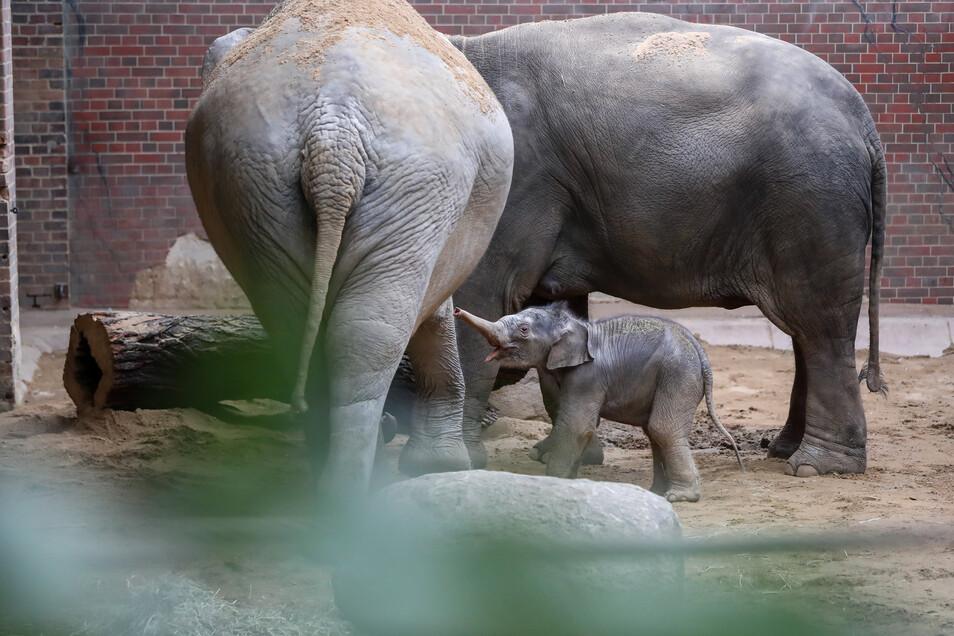 Zwischen seiner Mutter Rani (r) und seiner Tante Don Chung ist der kleine gut aufgehoben. Nun kümmern sich beide um den Nachwuchs.