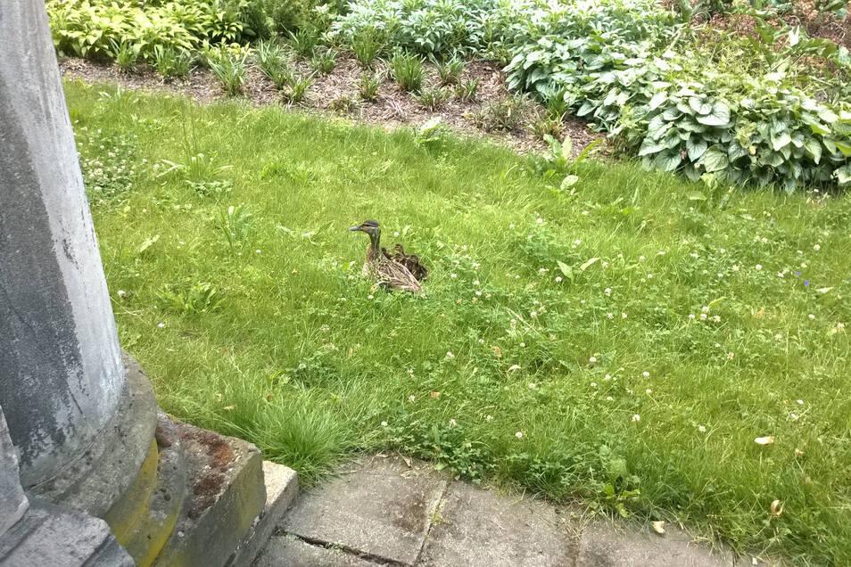 Auf diesem Bild vom Vorjahr hat die Ente mit ihrem Nachwuchs das Nest verlassen und ist im Garten unterwegs.
